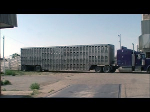 Mark Kirk Introduces Horse Transport Act