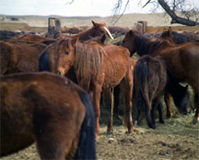 Guest Column: Convicted of 145 Counts of Wild Horse Cruelty, Nebraska to Transport its Meduna Problem to Wyoming After Parole