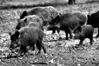 New Publication Targets Feral Hogs