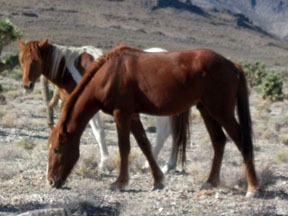 Nevada's Vanishing Mustangs