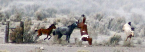 BLM's wild horse program faces new allegations of inhumane treatment in Federal Court