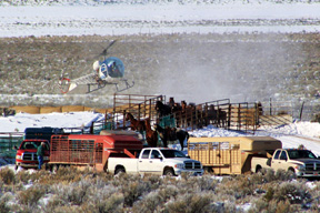 Cabinet Agency IG Investigating Wild Horse Sale, Also, BLM Statement on Barbed Wire Stampede