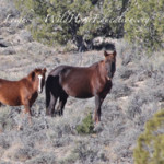 Wild Horses Silver King